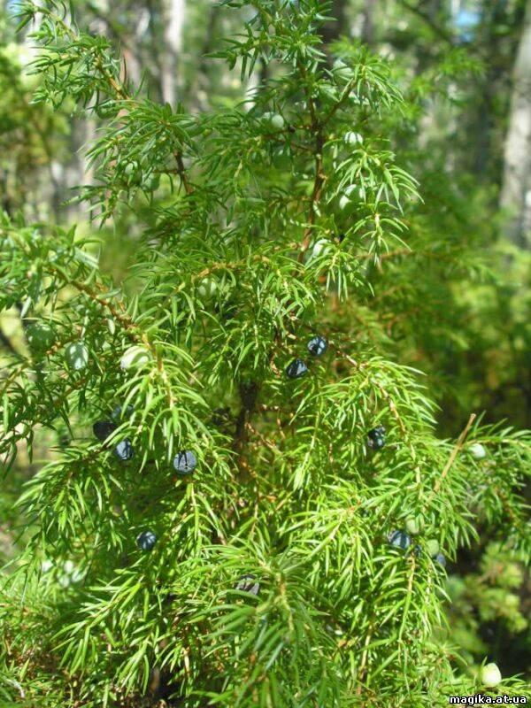 Можжевельник(Juniperus) 44967811