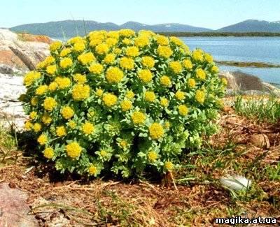 Родиола розовая (золотой корень) Rhodiola rosea L. 55220110