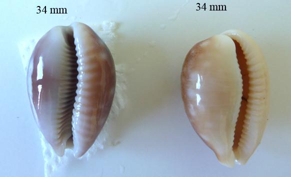 Lyncina vitellus dama - Perry, 1811 accepted as Lyncina vitellus (Linnaeus, 1758)  Porcel10