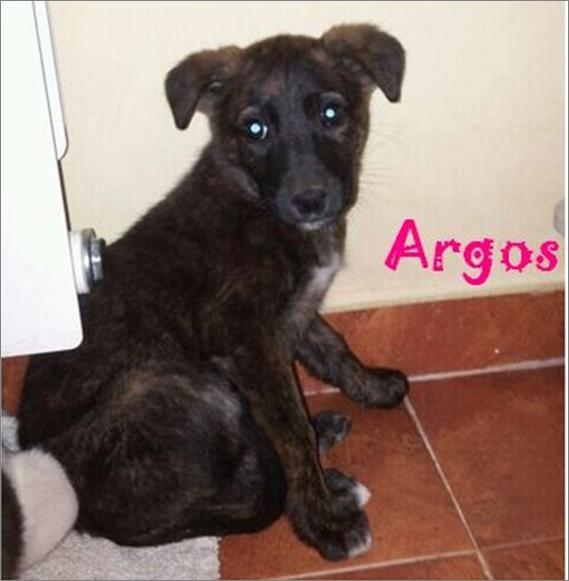 ARGOS - croisé galgo pris en charge par une autre asso Argos10