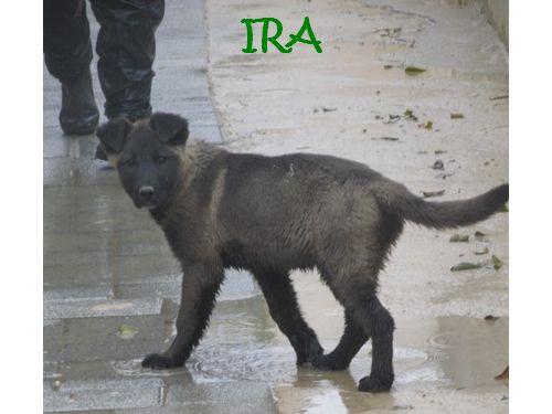 IRRA DEVIENDRA UNE MAGNIFIQUE CHIENNE DE BERGER Ira_nu13
