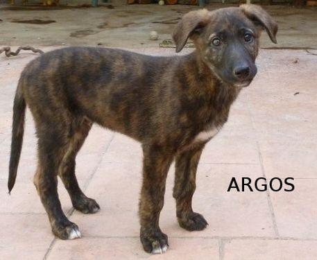 ARGOS - croisé galgo pris en charge par une autre asso P1040510