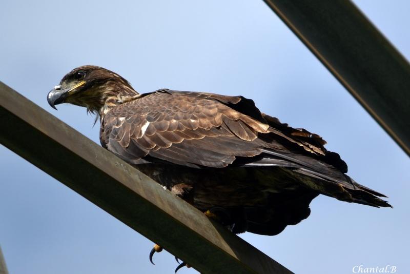 heron blesser aigle royal en attente  1710