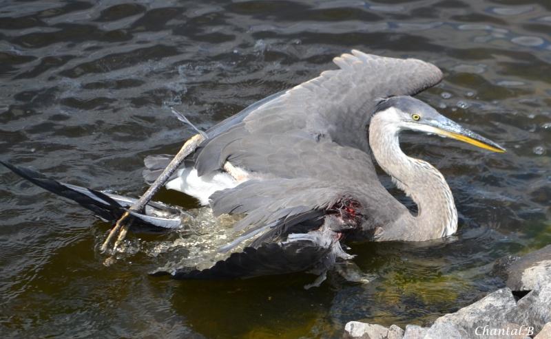 heron blesser aigle royal en attente  1810