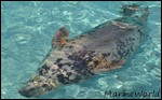 {Fiche/Espèce} : The Barreleye Fish Phoque10