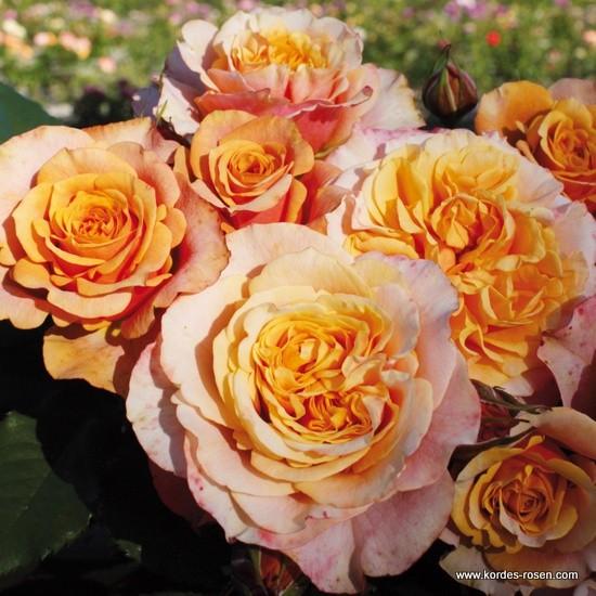 Rosa La Villa Cotta  Rose_o11