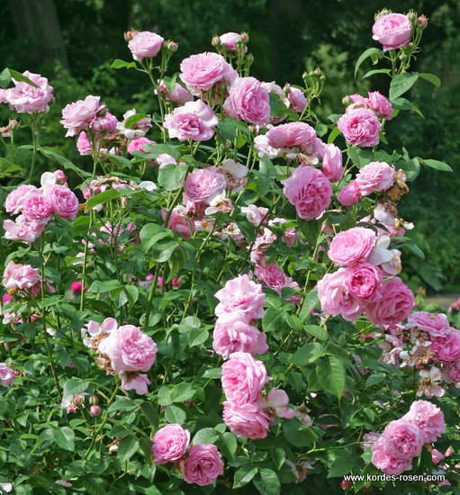 Rosa Louise Odier  Rose_r10