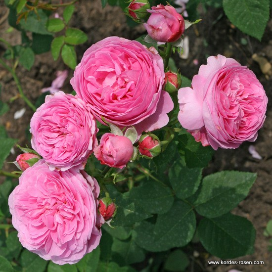 Rosa Louise Odier  Rose_r11