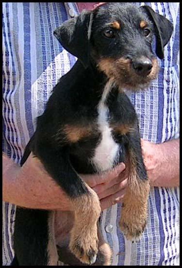 IWA chiot jadg terrier Dscn6219