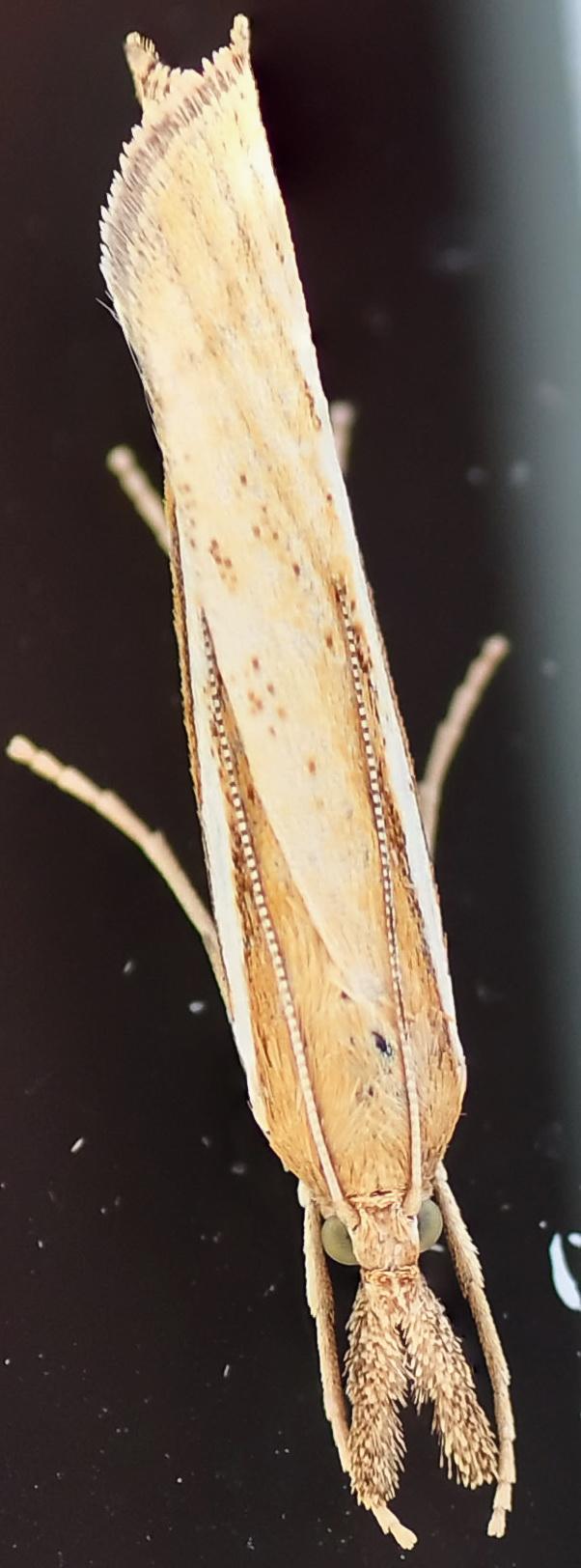 [Agriphila tristella](Crambidae)lépidoptère? Dsc-1212