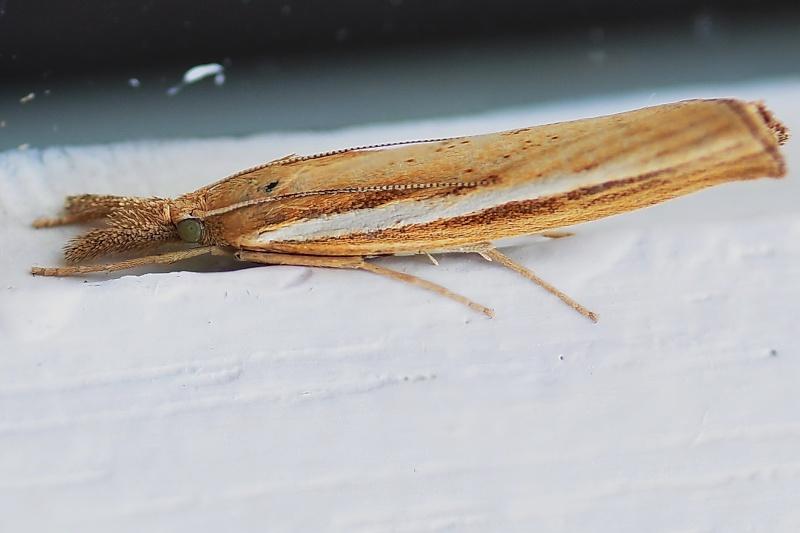 [Agriphila tristella](Crambidae)lépidoptère? Dsc-1214