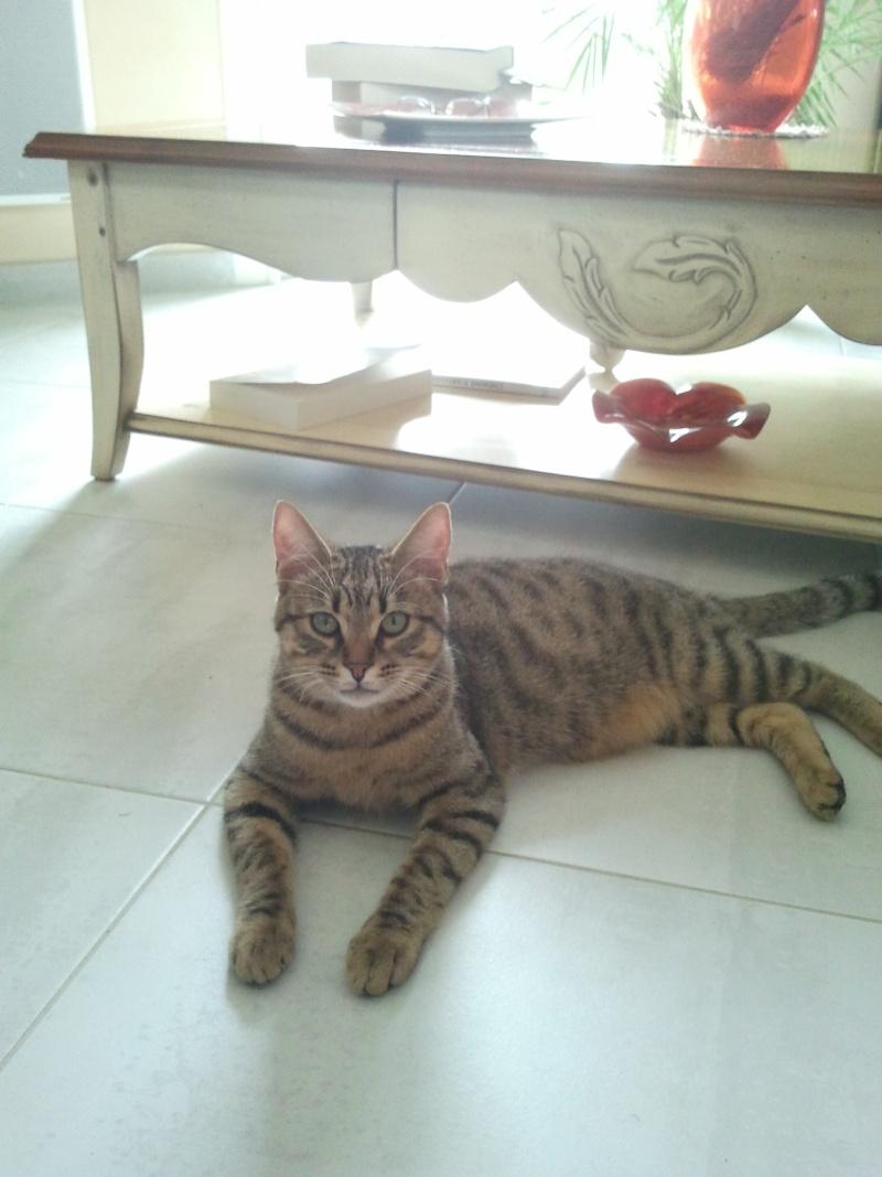 Perdu chat tigré à Daux 2012-110