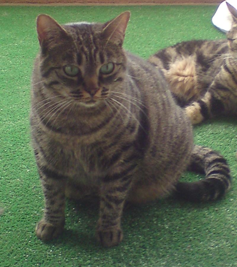 Perdue chatte tigrée à Colomiers Amy10