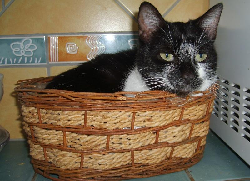 Perdue chatte noire et blanche à Lamasquère Guimau10