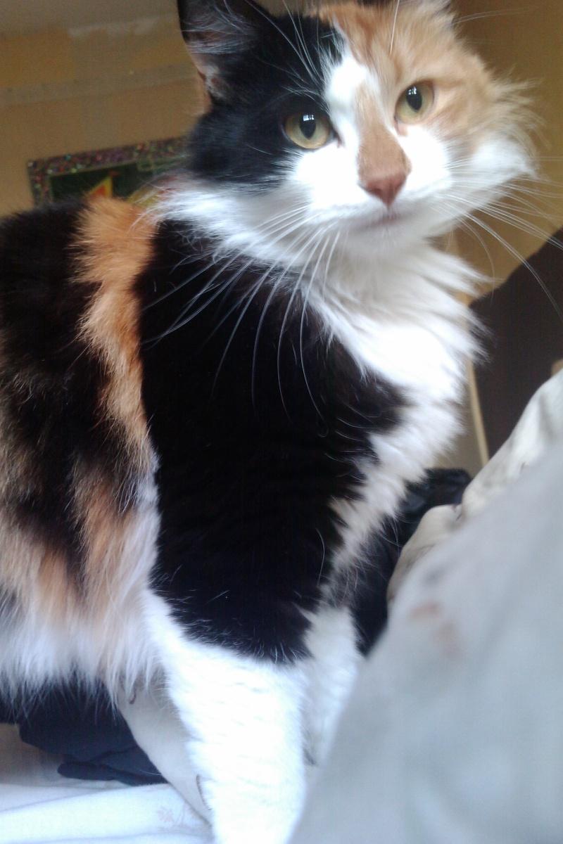 Perdue chatte isabelle à poils mi long à Colomiers Imag0010