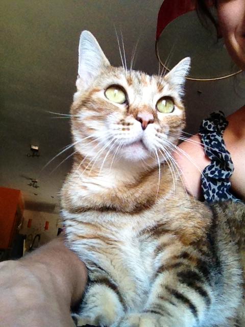 Perdue chatte rousse tigrée à Pibrac Image11