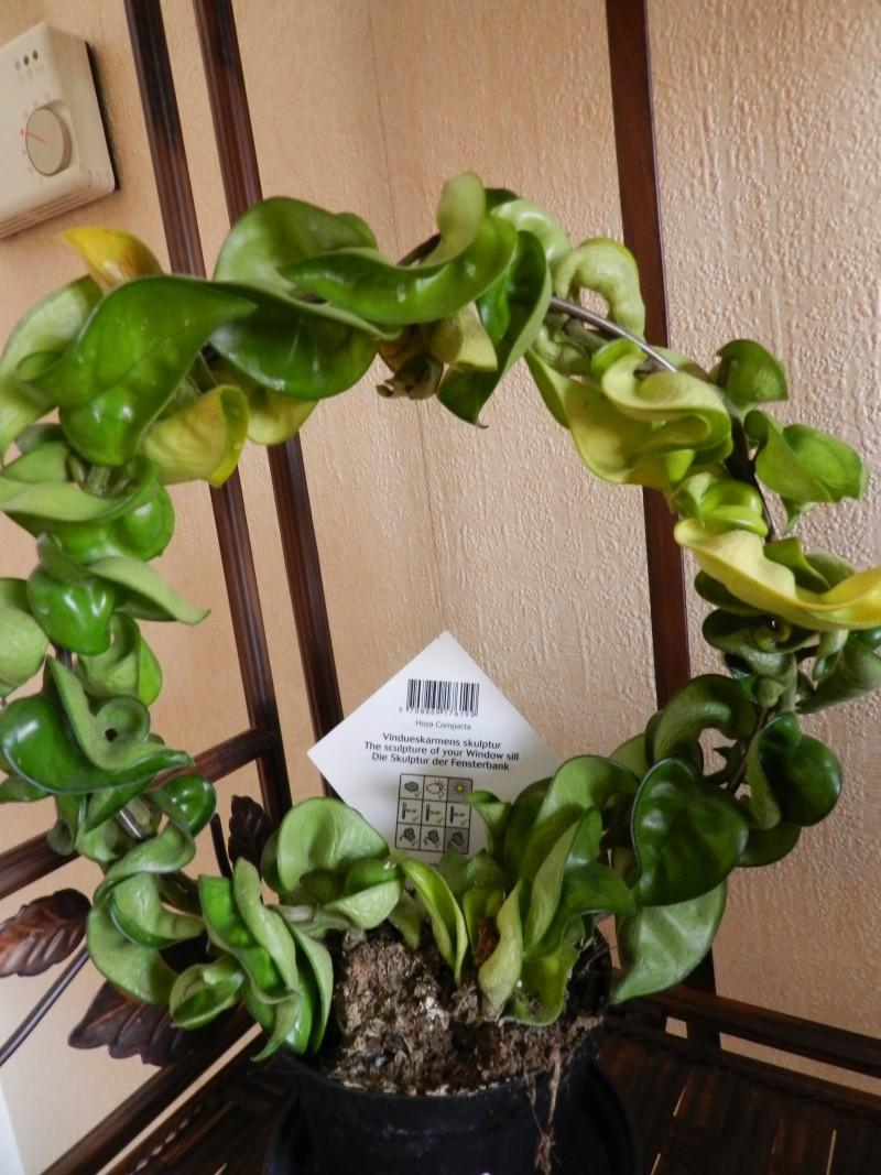 hoya carnosa compacta : feuilles qui jaunissent