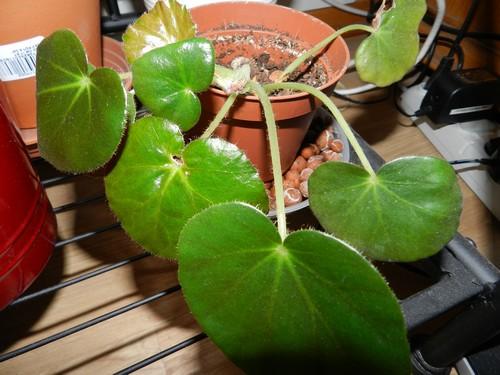 bégo erythrophylla : mon petit nénuphar! - Page 2 Dscn3914