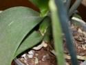 Tillandsia capillaris Dscn2310