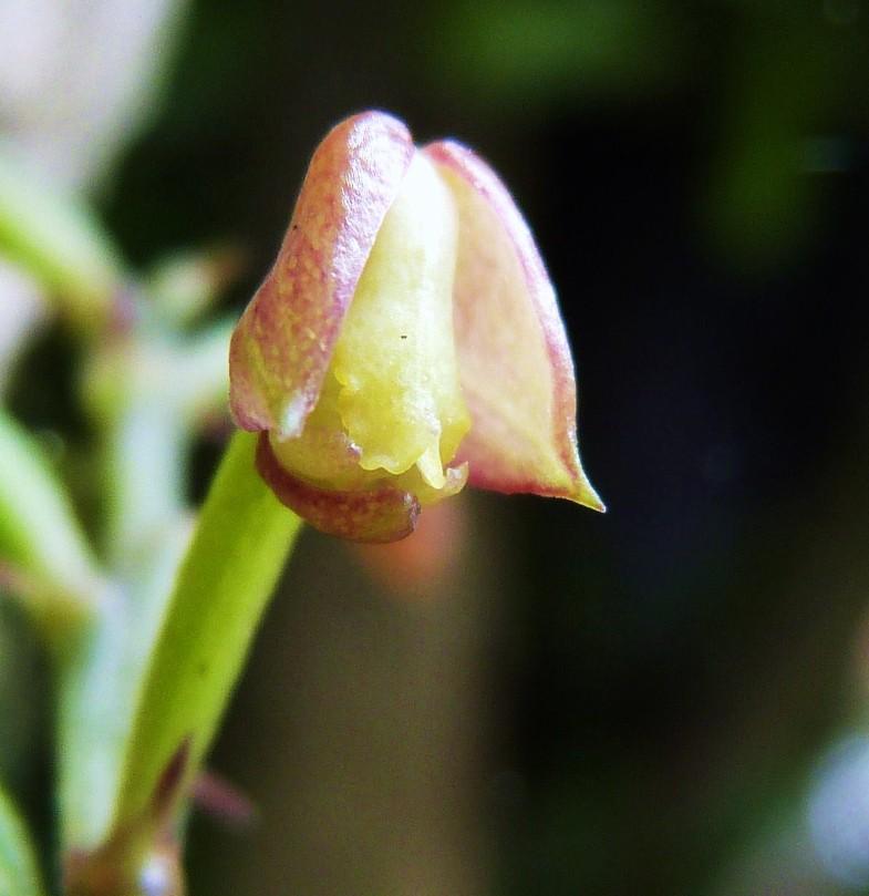 Polystachia sp 135110