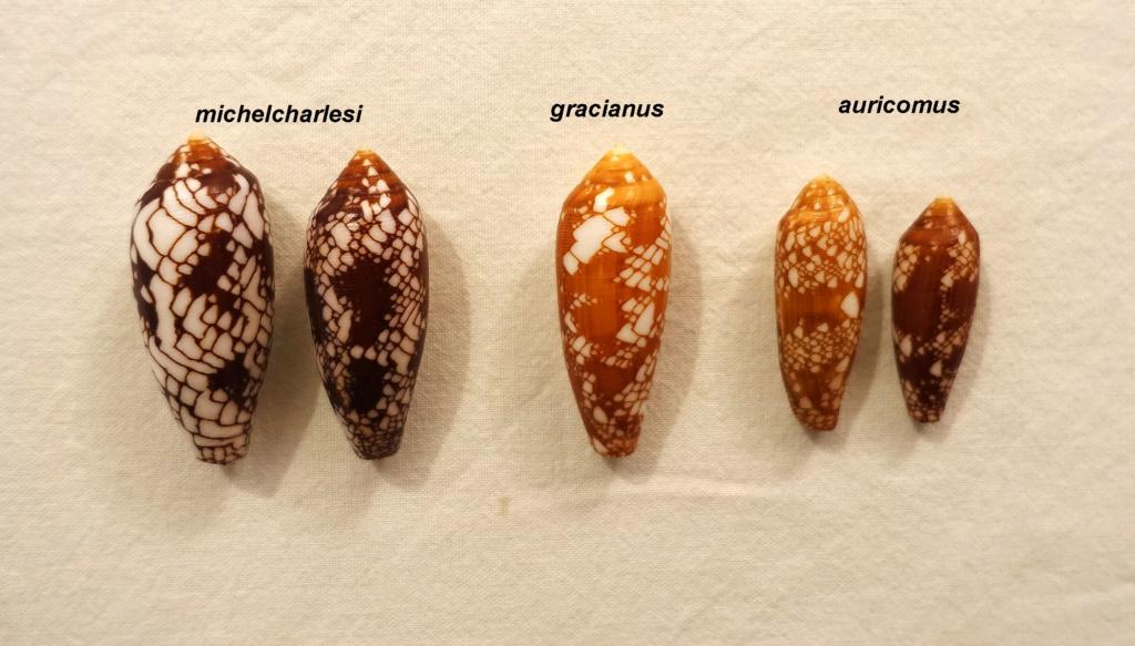 Conus (Darioconus) aulicus f. gracianus (da Motta, 1982) - Page 2 Aurico12