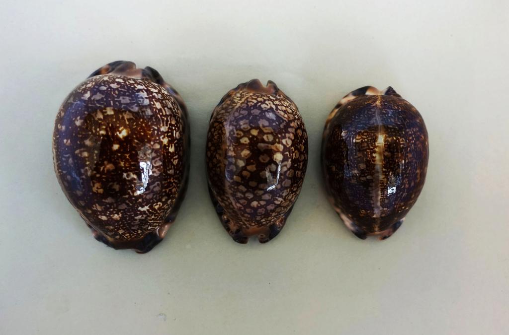 Mauritia arabica immanis f. rudimaculosa - Bozzetti, 2008 Immani12