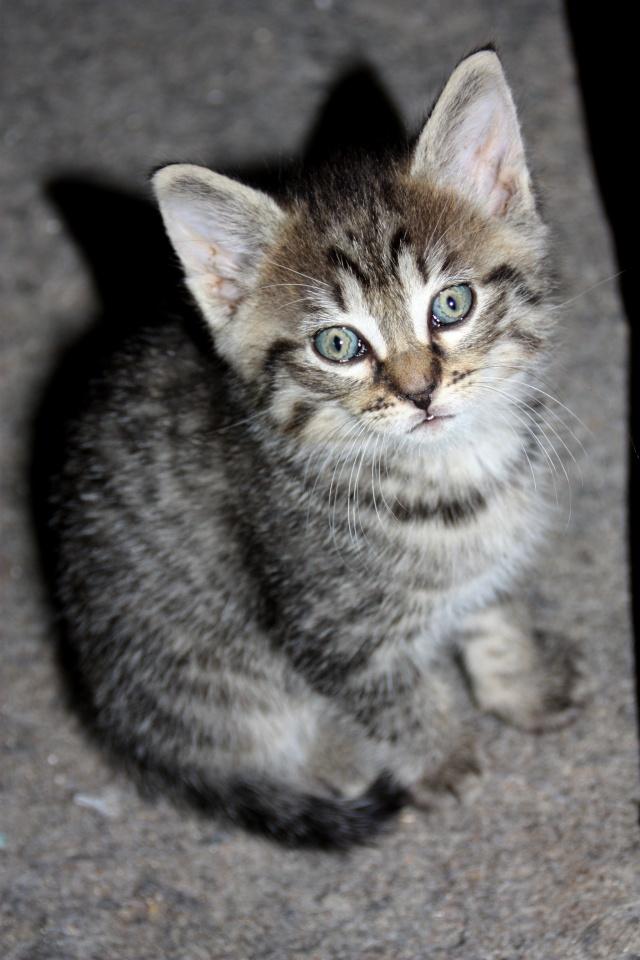 Coleen chatonne 1 mois 1/2 tigrée Img_1015