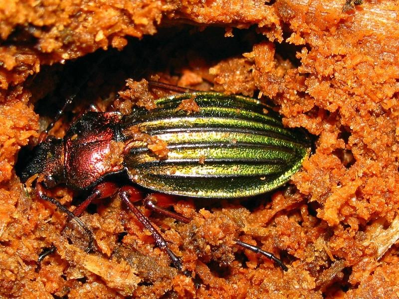 Chrysocarabus auronitens en loge d'hibernation. 009_n10