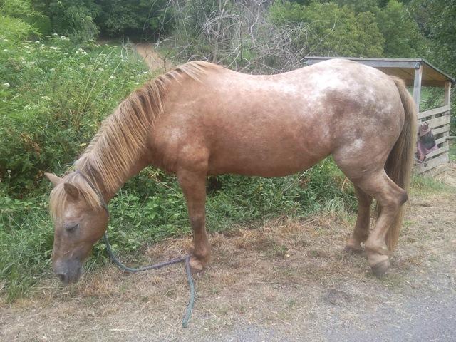 PAONIE - ONC poney née en 1992 - - annonce désactivée en l'absence de nouvelles de sa propriétaire Photo112
