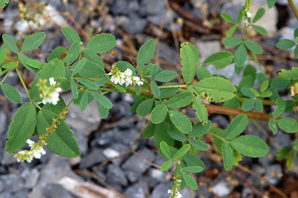 Melilotus albus - mélilot blanc Malilo12