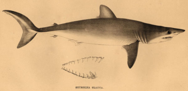 LE REQUIN - Page 2 Muller11