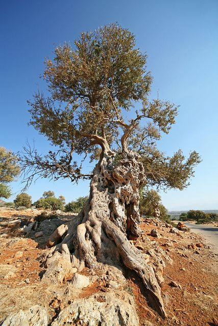 Des oliviers millénaires 41f8cb10