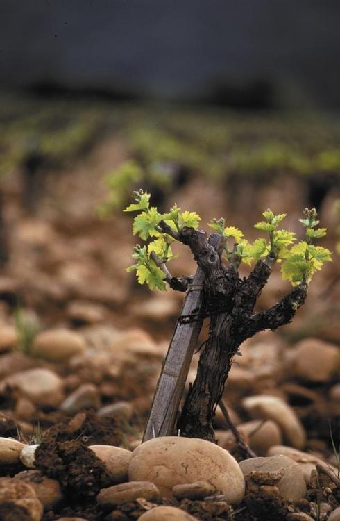 Les vignes de mon pays 7cc02010