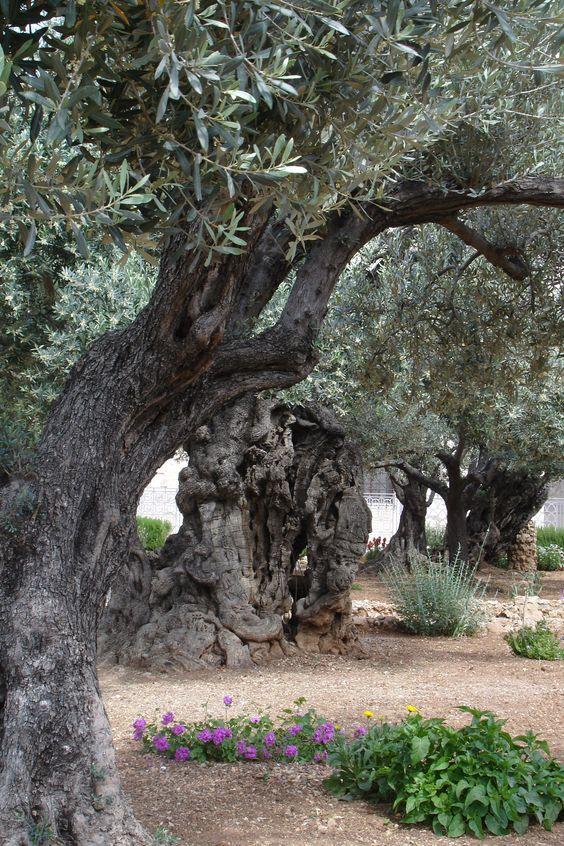 Des oliviers millénaires 7f604411