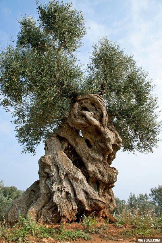 Des oliviers millénaires 8c8ca311