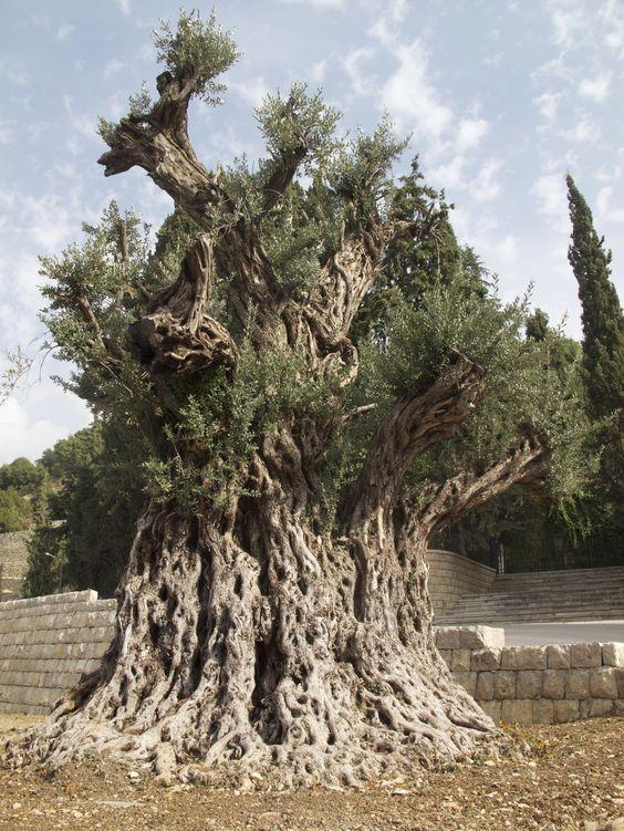 Des oliviers millénaires 9c822310
