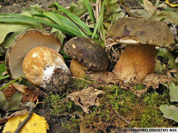 champignons des champs Boletu10