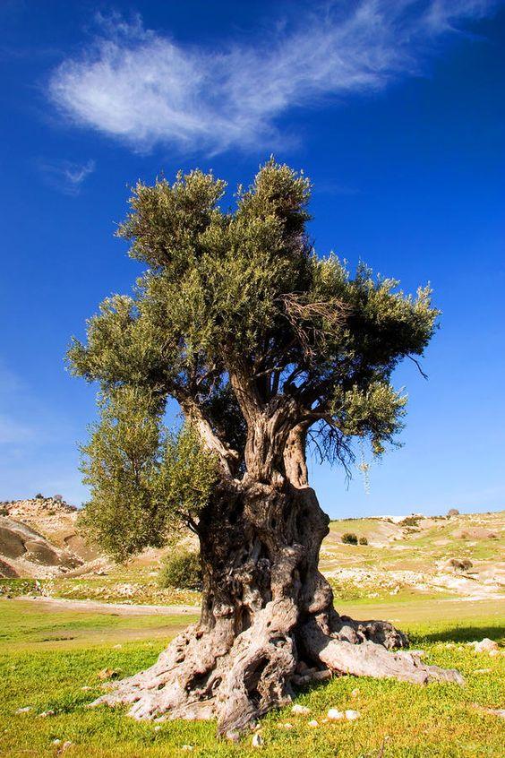 Des oliviers millénaires D075c610