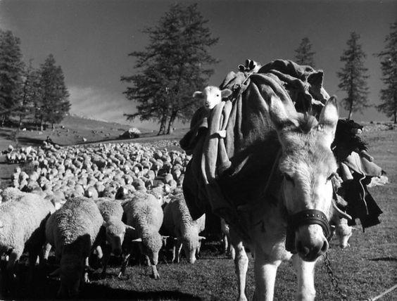 Les bergers d'antan et d'aujourd'hui D51cf410