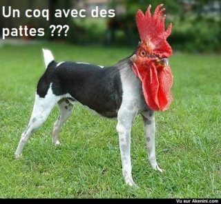 poules sans bec ni pattes E982ee10