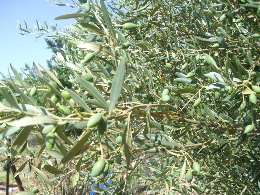 Mes oliviers . - Page 9 Imgp2010