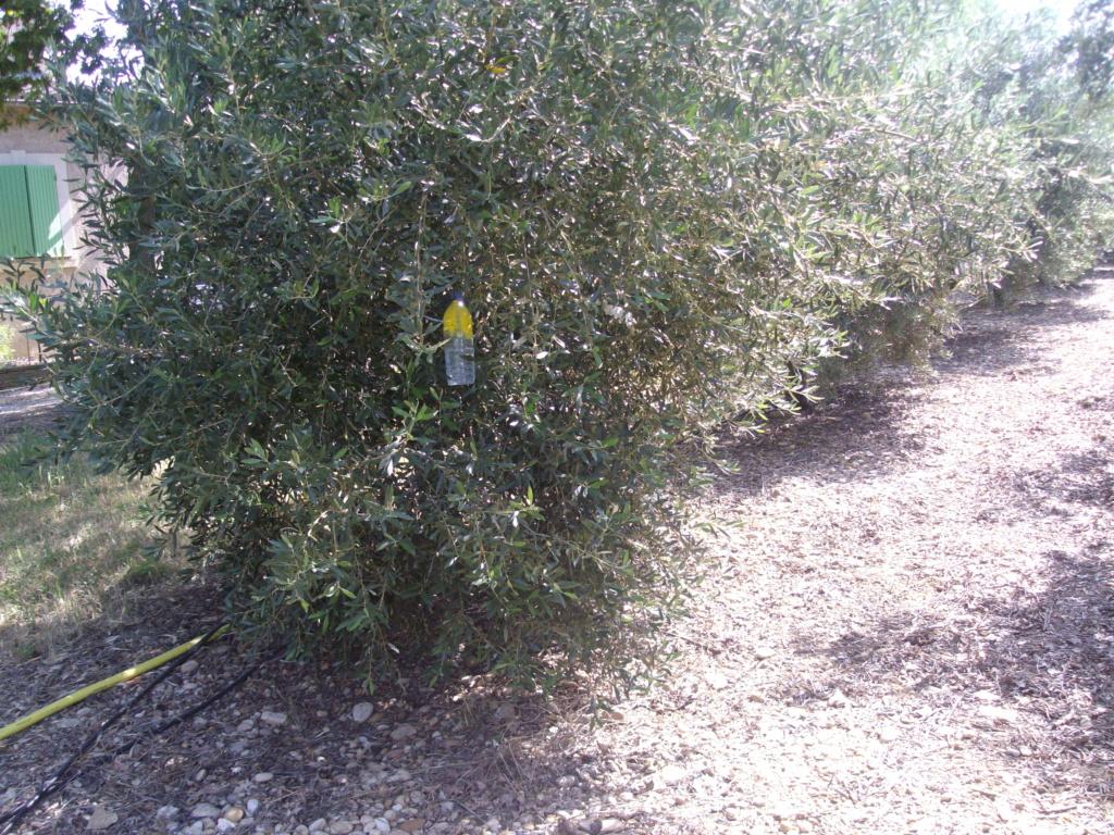 Mes oliviers . - Page 9 Imgp2012