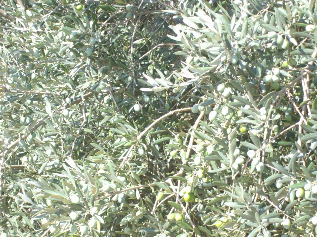 Mes oliviers . - Page 9 Imgp2032
