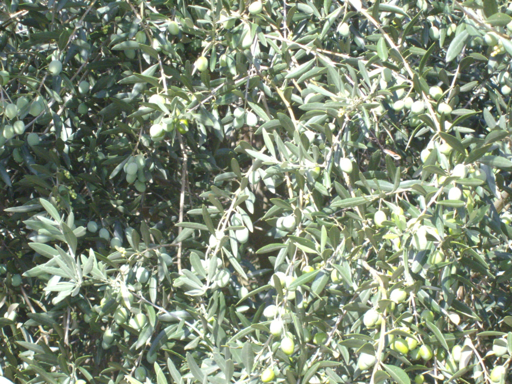 Mes oliviers . - Page 9 Imgp2033