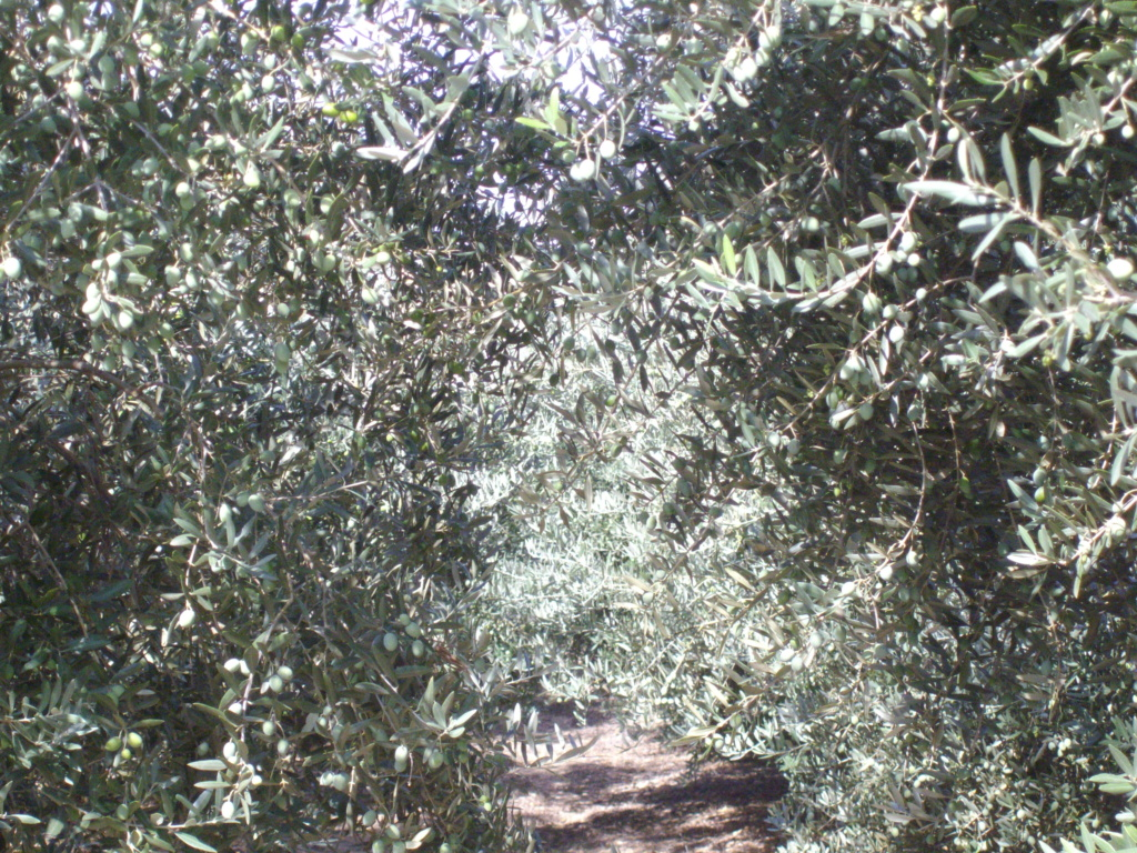 Mes oliviers . - Page 9 Imgp2034