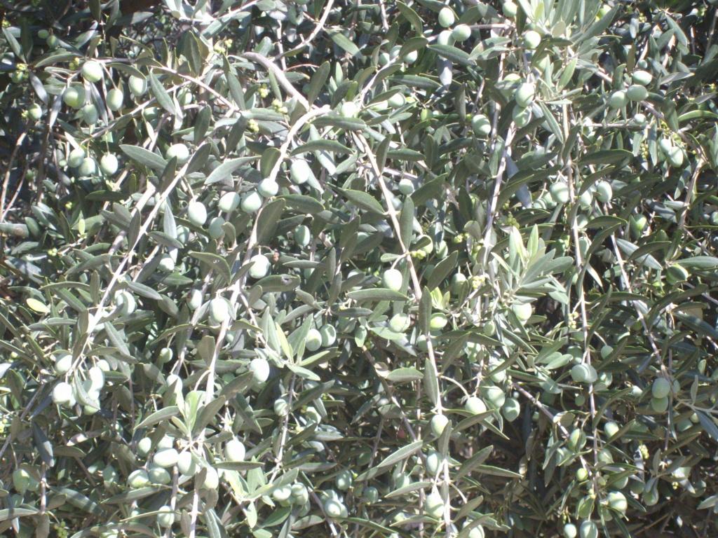 Mes oliviers . - Page 9 Imgp2110