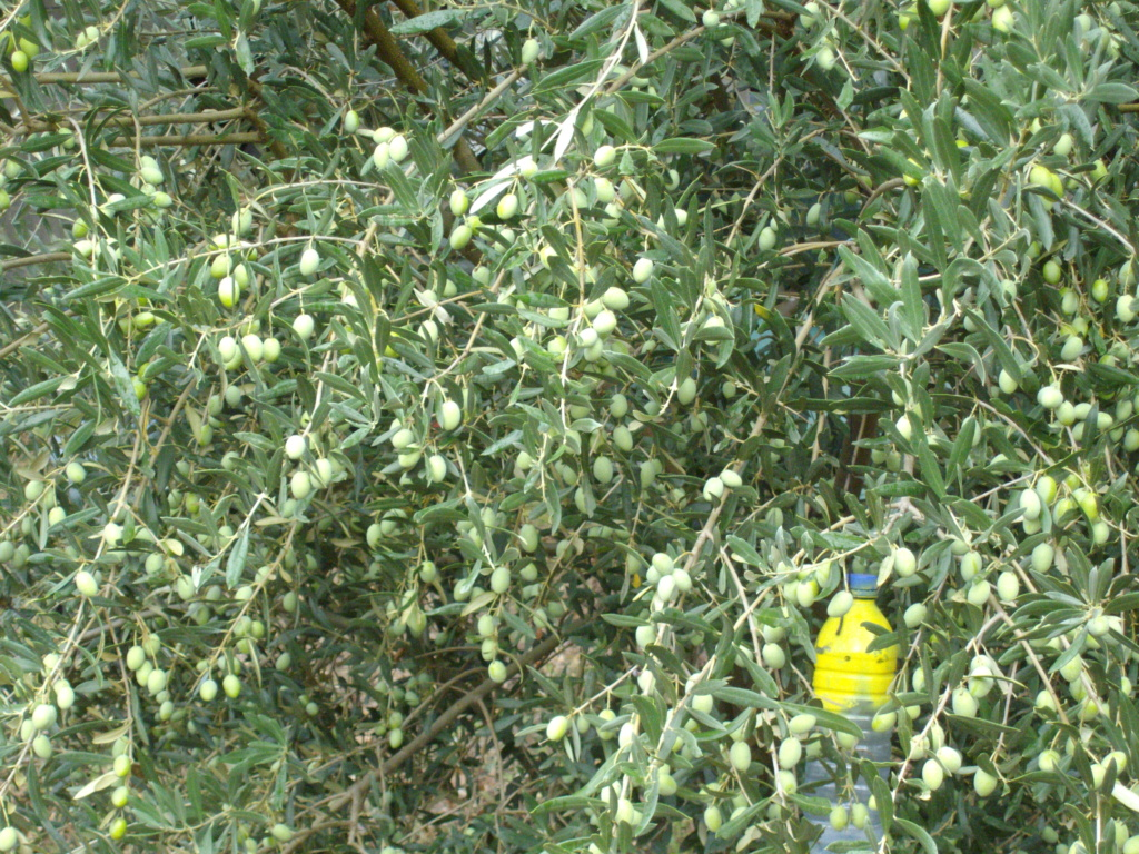Mes oliviers . - Page 9 Imgp2124
