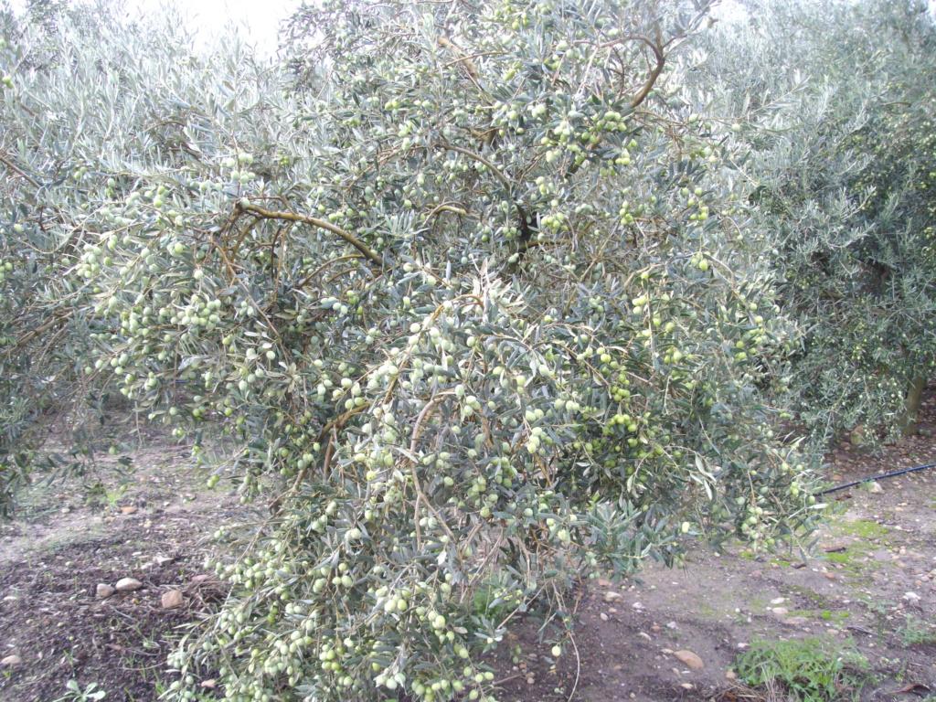 Mes oliviers . - Page 9 Imgp2125