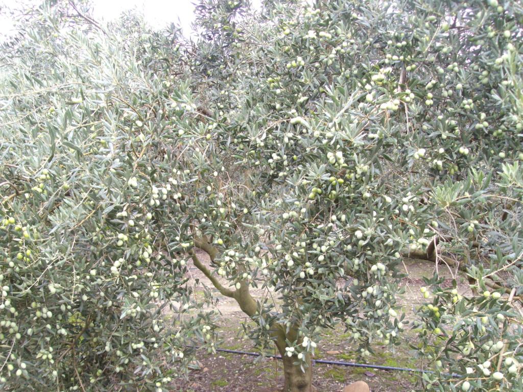 Mes oliviers . - Page 9 Imgp2127