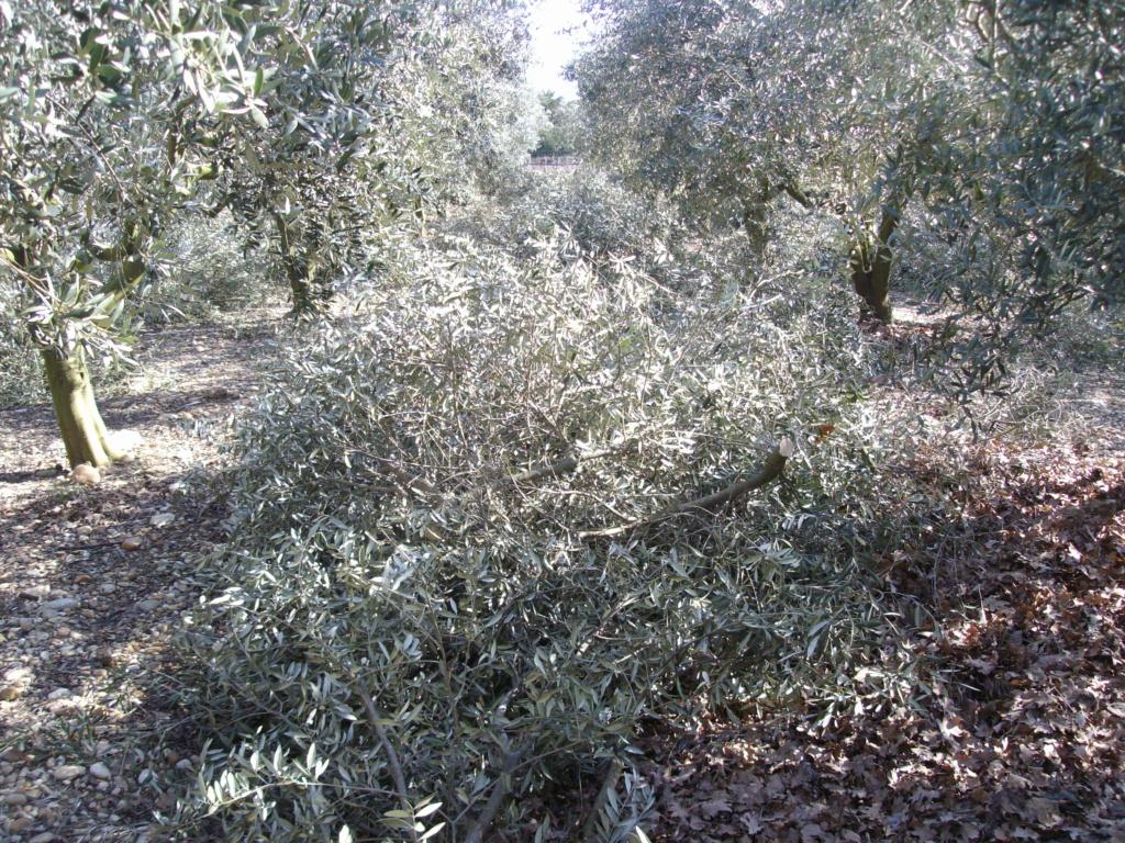 Mes oliviers . - Page 9 Imgp2175